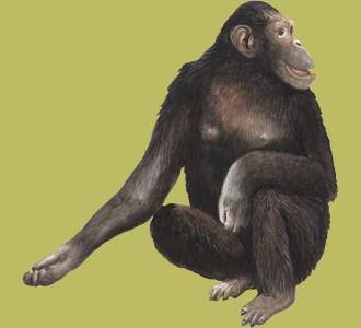 Chimpancé  - pelaje 69