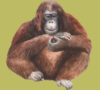 Acoger a un animal de la jungla de especie orangután