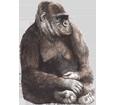 Gorila - pelaje 69