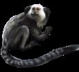 Mono tití - pelaje 52