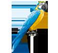 Guacamayo azulamarillo - pelaje 5