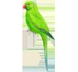 Loro verde adulto - pelaje 72