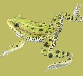 Acoger a un animal de la jungla de especie rana verde