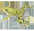 Rana verde  - pelaje 72