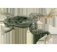 Rana xenope - pelaje 71