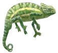 Camaleón de África - pelaje 72