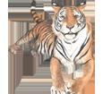 Tigre - pelaje 42