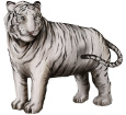 Tigre blanco - pelaje 9