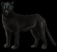 Pantera negra - pelaje 51