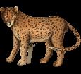 Jaguar - pelaje 46