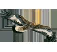 Águila real  - pelaje 69